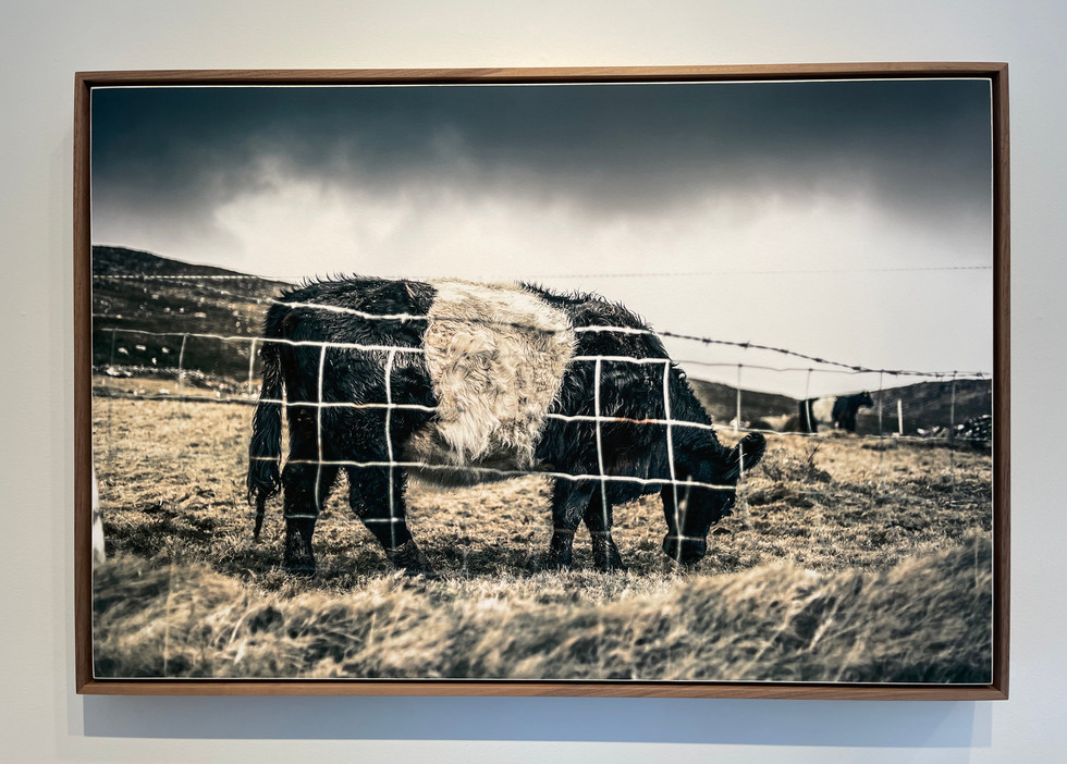 Belted Galloway by Curtis Speer, 24_ x 36_