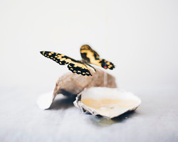 Butterfly and Oysters / Curtis Speer
