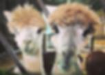 Blackthorn_Alpacas.PNG