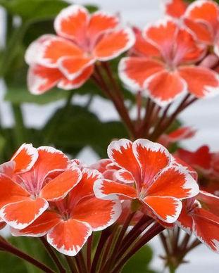 geranium-orange.jpg