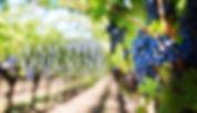 I am the true vine3.jpg