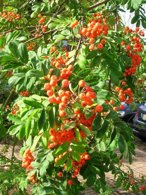 Sorbus Aucparia, Rowan Tree, or Mountain Ash