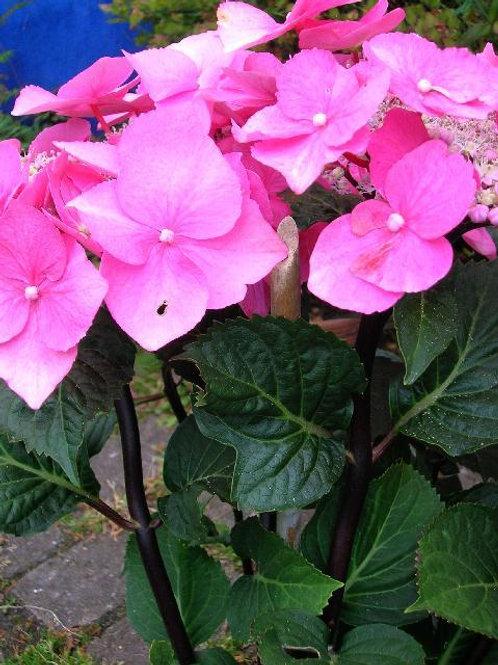 XL Hydrangea BLACK STEEL ZAMBIA PINK Flowering Shrub