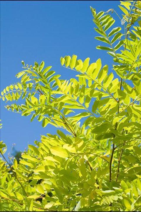ROBINIA FRISIA PSEUDOACACIA Tree, potted
