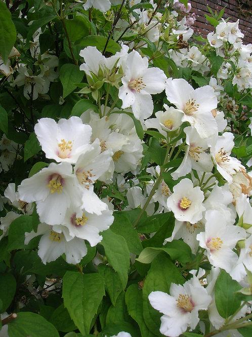 Lg Philadelphus Belle Etiole Mock Orange scented shrub
