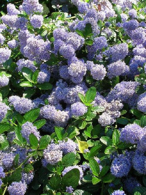 CEANOTHUS Puget Blue Evergreen flowering Shrub