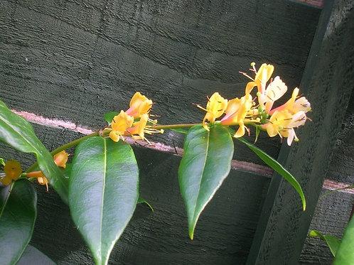 "Honeysuckle Lonicera ""Henryii"" Evergreen Hardy Climber"