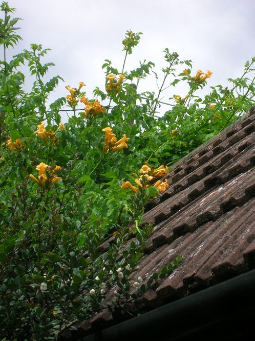 Campsis Radicans, Flowering Climber, 3litre potted