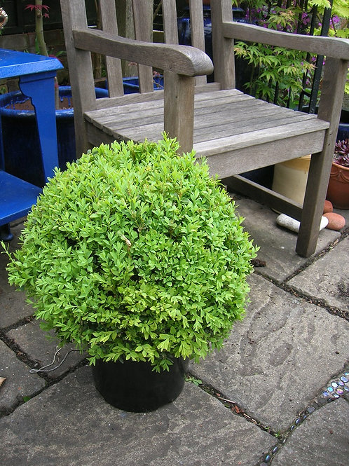XXL Topiary Buxus BOX PYRAMID 1M/3ft above pot. Collection only