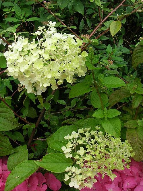 XL Hydrangea Paniculata LIMELIGHT Shade Loving Shrub