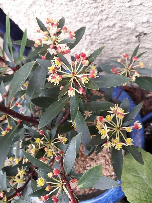 "DRIMYS Lanceolata ""Red Spice"" Scented Evergreen Shrub"