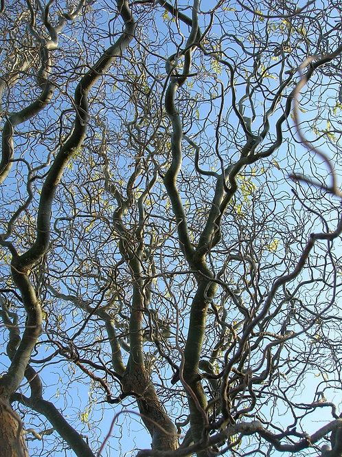 Corkscrew Twisted Willow Tree or Shrub, Salix Contorta