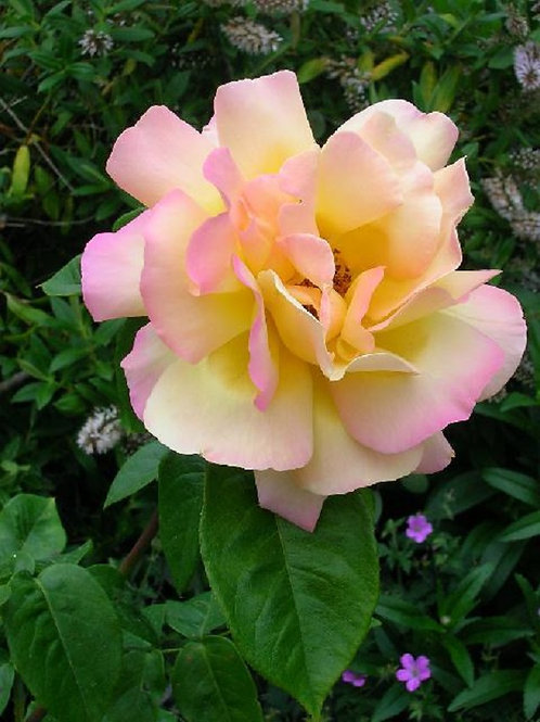 Scented Pink-tinged Pale Yellow Rose PEACE