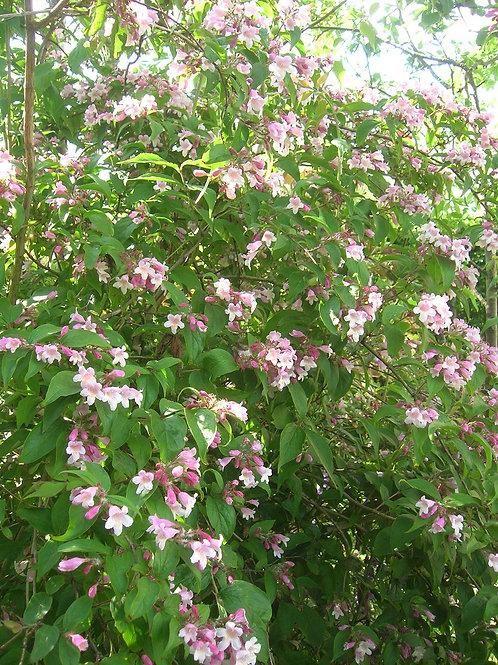 KOLKWITZIA AMABILIS or Beauty Bush