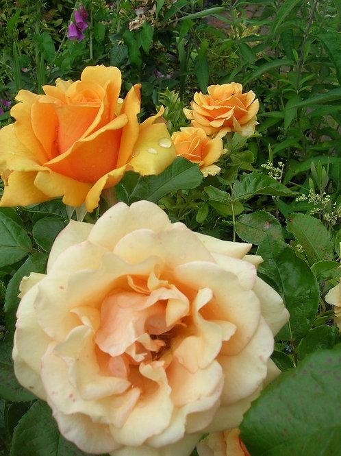 Scented Peachy-Yellow Rose DORIS TYSTERMAN