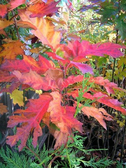 Red Oak Tree Quercus Rubra