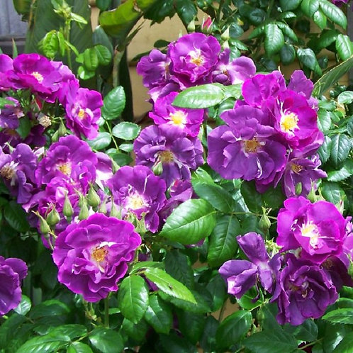 Potted scented Purple-blue Shrub Rose RHAPSODY IN BLUE