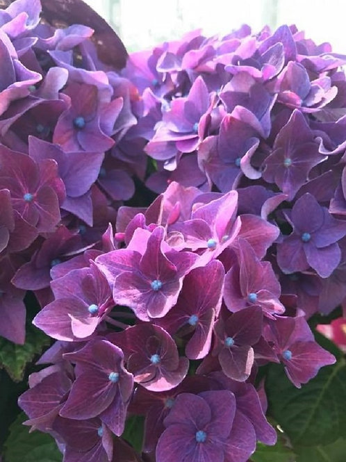 Hydrangea Music Dance Purple Shrub