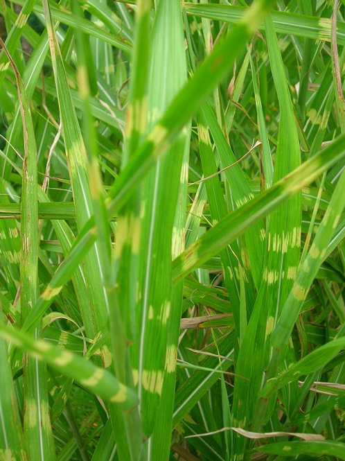 Miscanthus Zebrina or Zebra Grass