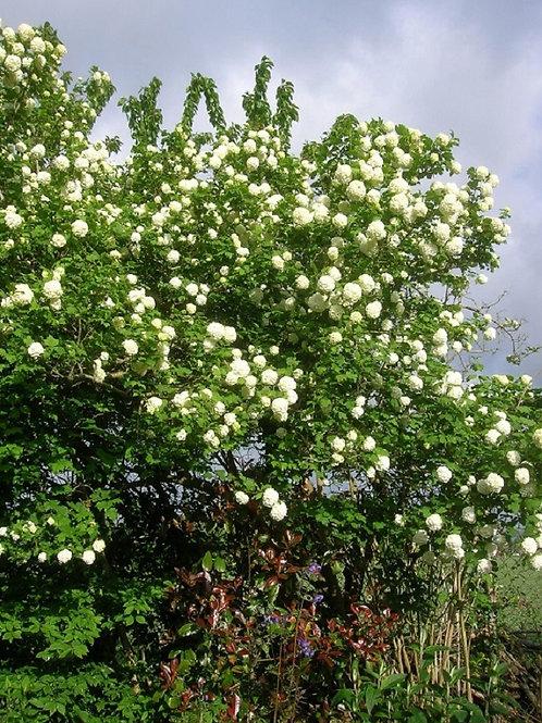 Viburnum Opulus Sterile Snowball Shrub Tree