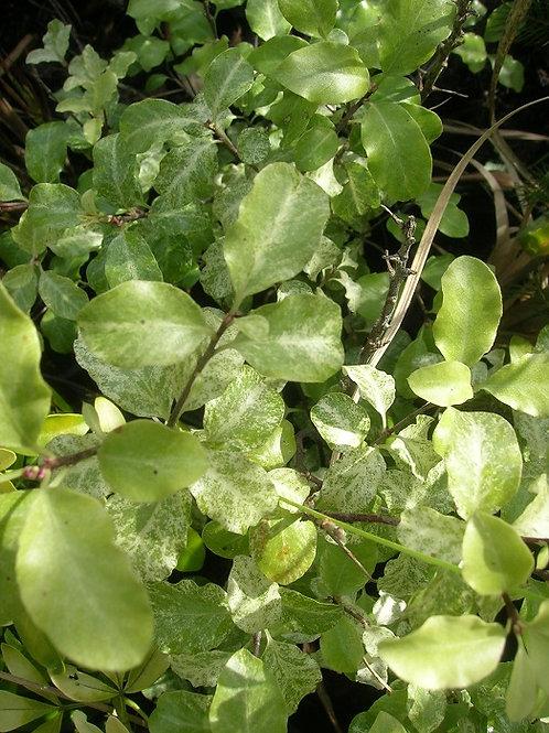 "Evergreen PITTOSPORUM ""Irene Paterson"" Tree Shrub"