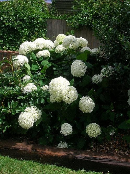 "Hydrangea Arborescens White ""ANNABELLE"" Shrub"