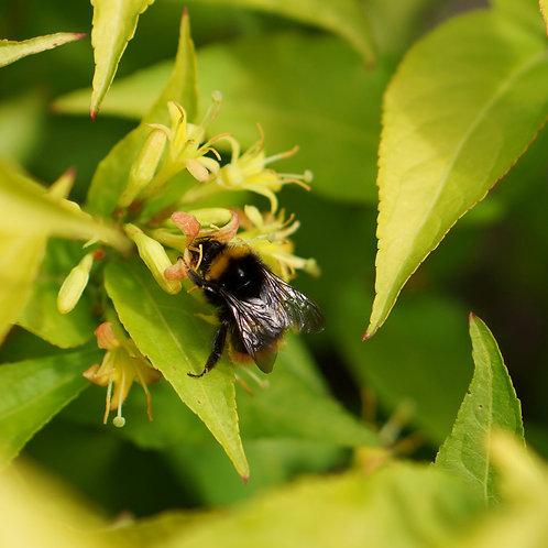 """DIERVILLA """"Honey Bee"""" Hardy Shrub"""