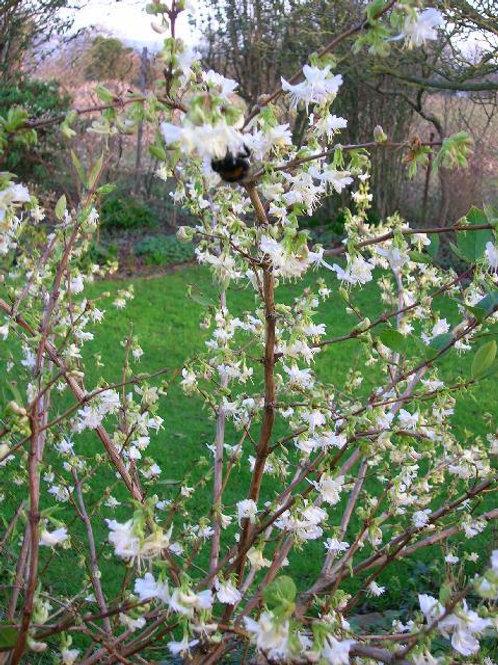 BUSH Winter Honeysuckle, LONICERA FRAGRANTISSIMA, Potted