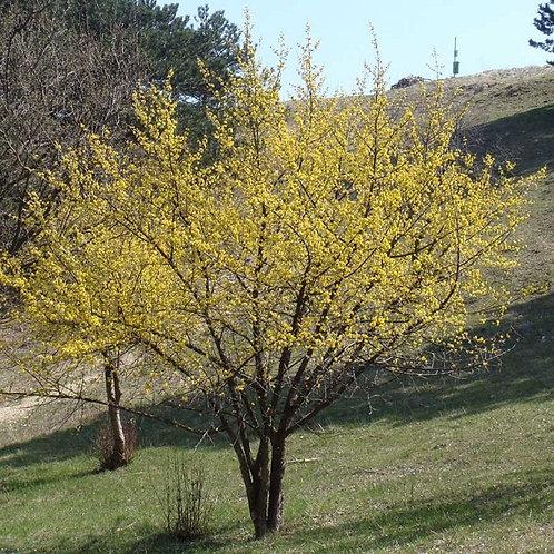 Cornus Mas Shrub or Small Tree, Cornelian Cherry