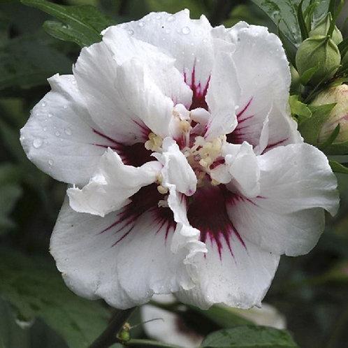 Lg Hibiscus Speciosus, Tree Hollyhock