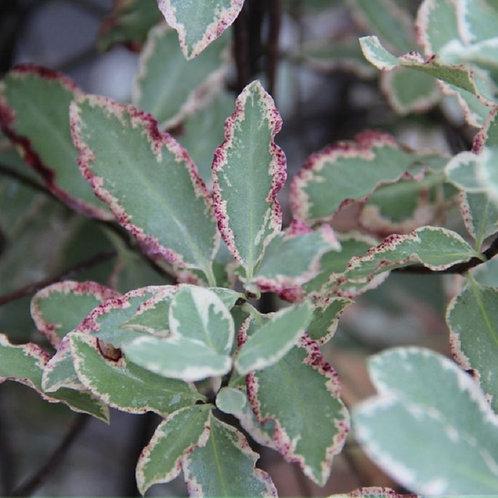 """Lg Evergreen PITTOSPORUM """"Elizabeth"""" Shrub Tree"""