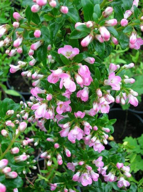 "XL Escallonia ""Apple Blossom"" Evergreen flowering Shrub"