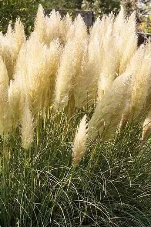 Young White Pampas Grass Cordateria Selloana Alba