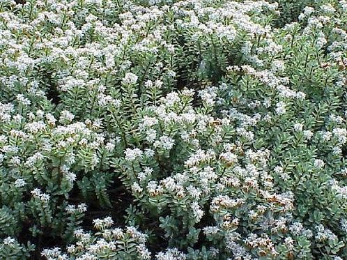 "Lg HEBE Pinguifolia ""Sutherlandii"" Evergreen Flowering Shrub"