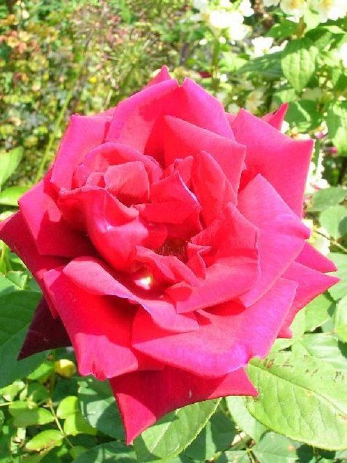 """Scented Red Floribunda ROSE """"Deep Secret"""", potted"""