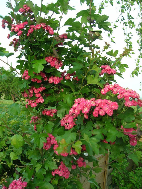 """4ft+ Hawthorn Tree """"Paul's Scarlet"""" or Red May tree, potted"""