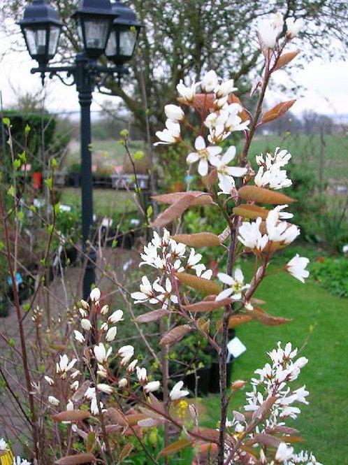 Amelanchier, June Berry, flowering small tree
