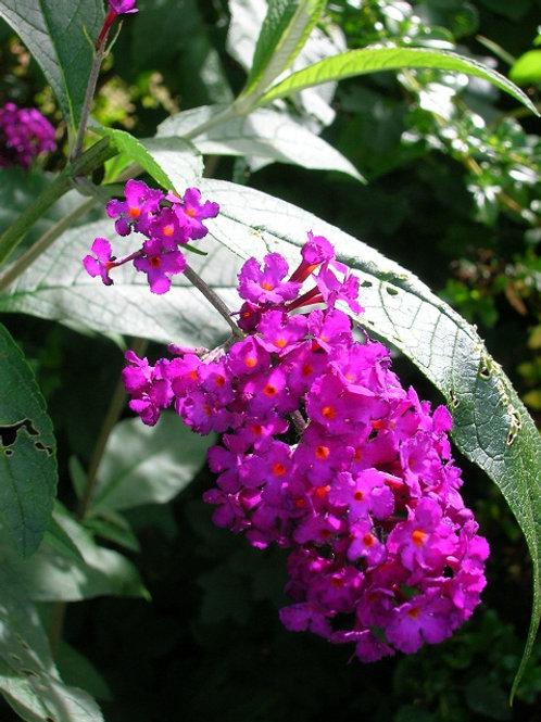 BUDDLEIA ROYAL RED Flowering Shrub, Butterfly Bush