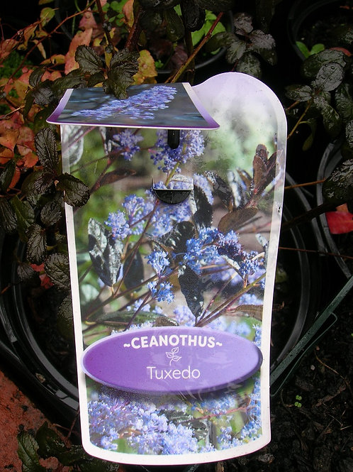 CEANOTHUS TUXEDO Blue Flowering Evergreen Shrub
