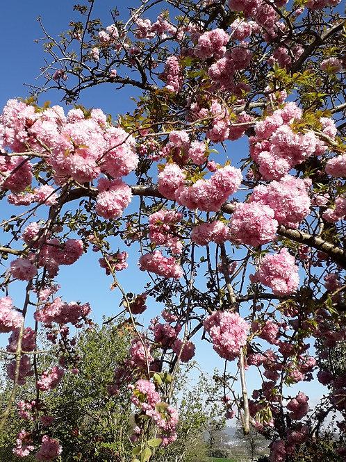 Ornamental Weeping Cherry Blossom Tree Prunus Kiku Shidare