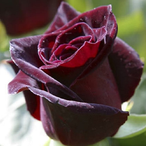 Potted scented Shrub Rose BLACK BACCARA