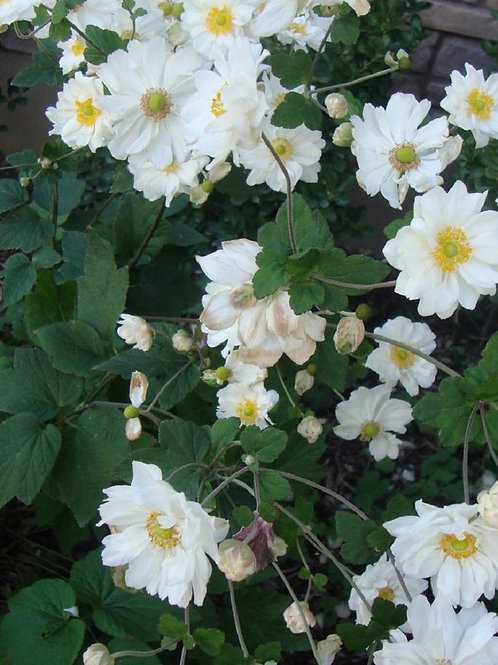 """3 x Perennial Tall ANEMONE Japonica """"Whirlwind"""", 3litre potted"""
