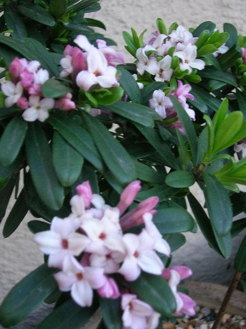 Daphne Transatlantica Eternal Fragrance Pink Evergreen Shrub