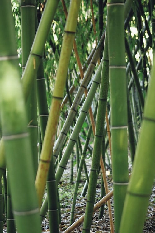 Green Bamboo, Phyllostachys Bissetti