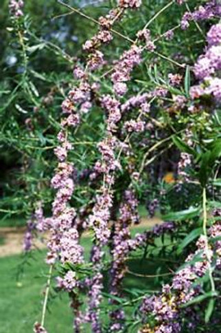 XL Weeping BUDDLEIA ALTERNIFOLIA Flowering Shrub