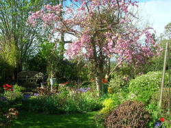 Spring flowering cherry tree