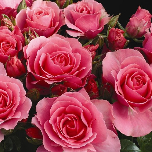 Scented Coral Pink rose YOU'RE BEAUTIFUL