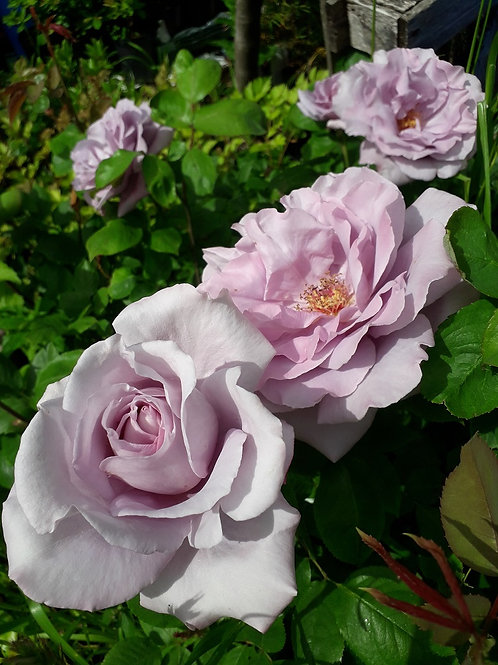 """Potted Climbing ROSE """"Blue Moon"""" scented"""