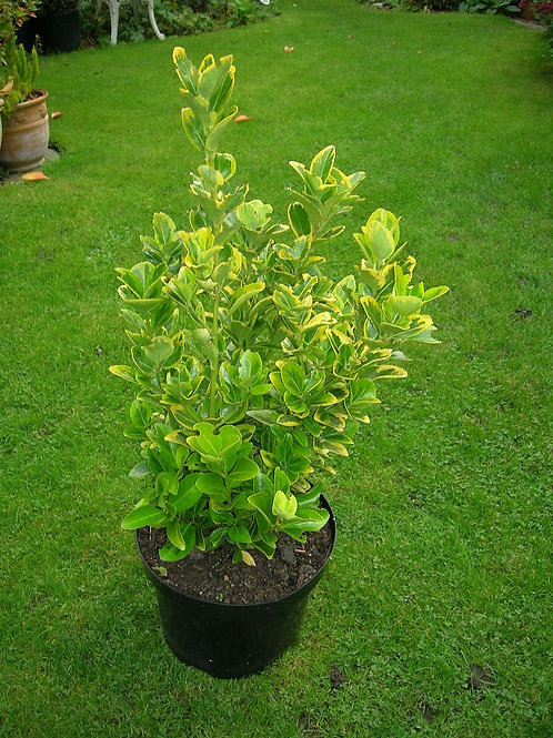 XL EUONYMUS FORTUNEI Gold Green Evergreen Shrub