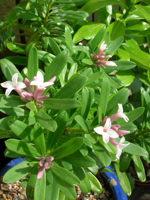Daphne Transatlantica Eternal Fragrance White Evergreen Shrub